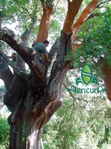 L raccolta del sughero in Sardegna