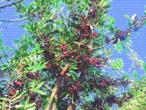 olio di Lentisco biodiversità gonnese sardegna
