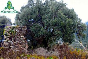 Ulivi e olio in Sardegna olio olivo extravergine