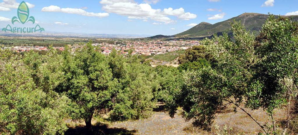 Ulivi e olio in Sardegna extravergine italiano